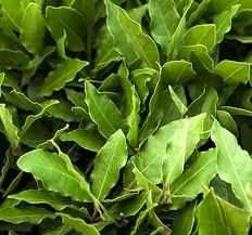 laurel leaf essential oil plant