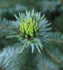 Pure Fir Essential Oil