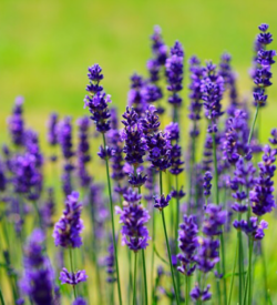 French Lavender Oil