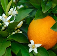 Pure essential's neroli oil