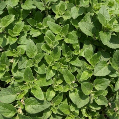 Pure Oregano Essential Oil