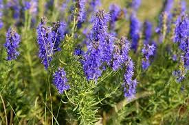 Hyssop Essential Oil Plant