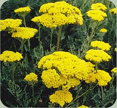 pure yarrow essential oil