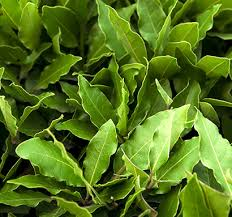 laurel leaf essential oil plant