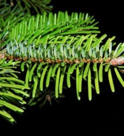 Pure Black Spruce Essential oil