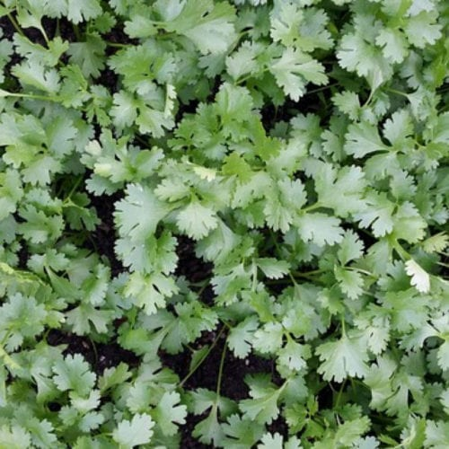 Pure Coriander Essential Oil