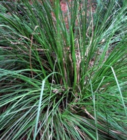 Steam Distilled Vetiver Essential Oil