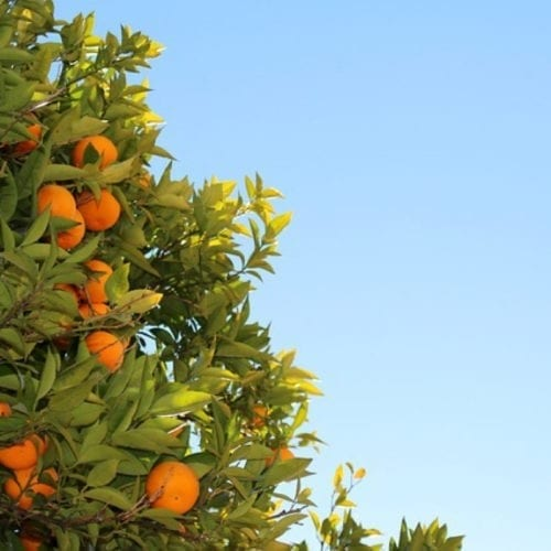 Cold Pressed Tangerine Essential Oil