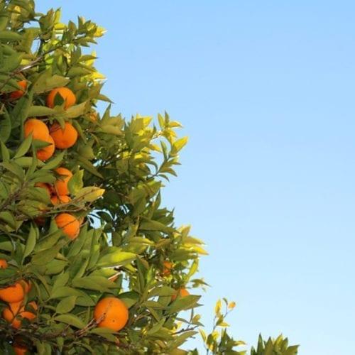 Cold Pressed Tangerine Essential Oil