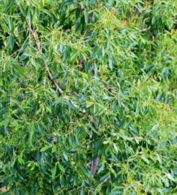 Australian Tea Tree Essential Oil